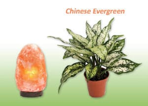 Chinese Evergreen plant and Salt lamp