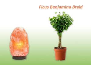 Ficus Benjamina Braid plant and Salt lamp