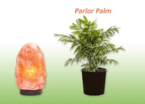 Parlor Palm plant and Salt lamp