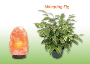 Weeping Fig plant and Salt lamp